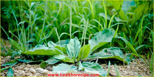 Uses Of Plantain Herb