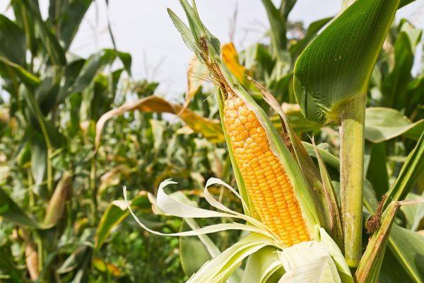 Corn cause gas